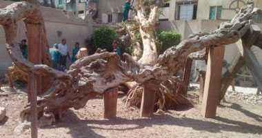 """شجرة مريم تتعرض للتدمير بسبب """"ملاهى"""""""