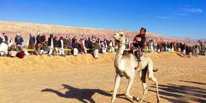 """""""العليقات"""" تستعد لانطلاق مهرجان الهجن بسرابيط الخادم في جنوب سيناء"""